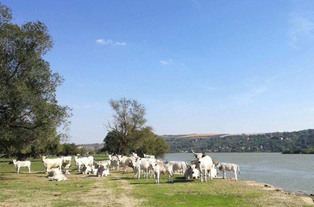 Krdo podolskih goveda na Krčedinskoj adi