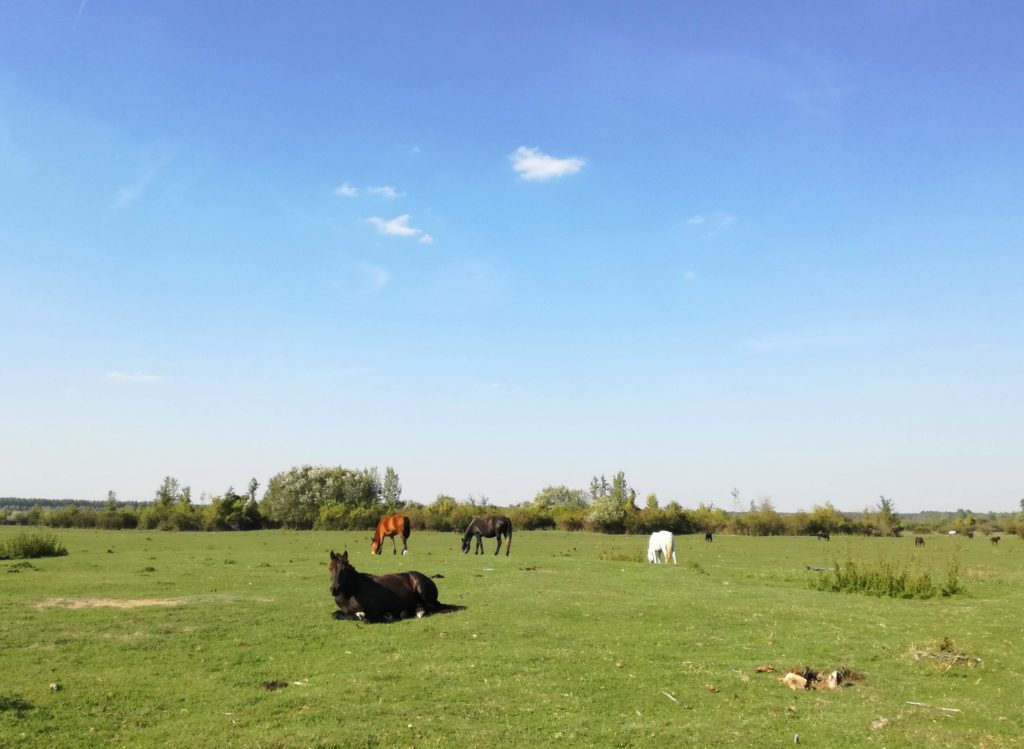 Konji na Krčednskoj adi